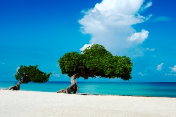 two-fofoti-trees-on-the-beach